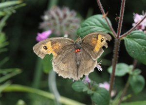 Mite-y worn Meadow Brown
