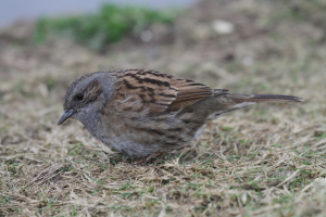 Hedge Accentor - Lodmoor