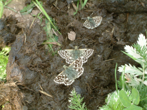 Grizzled Skipper - Pyrgus malvae -