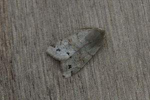 Orthosia munda, Twin-spotted Quaker