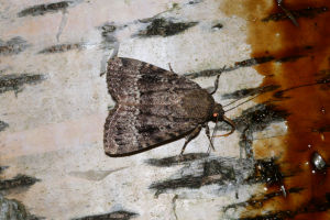 Copper Underwing - at sugar .