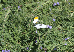Orange Tip mating pair
