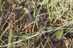 Coenagrion mercuriale + gooseberry