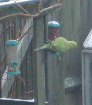 one green bird out of 4 in the garden