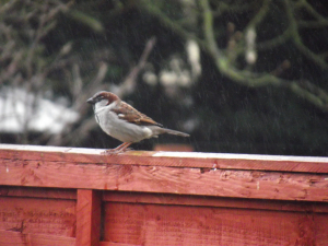 House Sparrows in the rain
