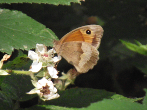 Meadow Brown (female)
