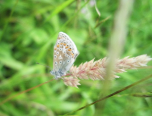 BLUE BUTTERFLY ON REIGATE HILL(2)