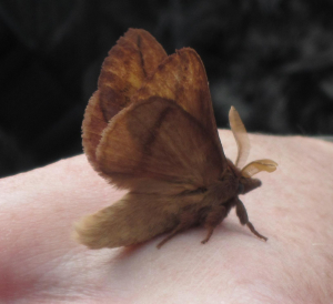 Moth at Farne Islands