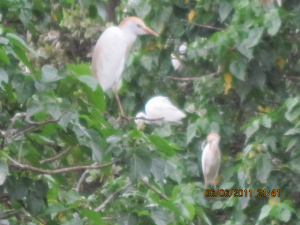 Egrets at roost on Barbados