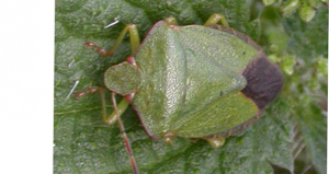 Shield bug1