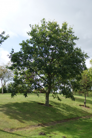 Pedunculate Oak