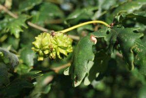Knopper Gall