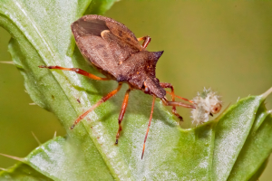 Spiked Shield Bug with prey