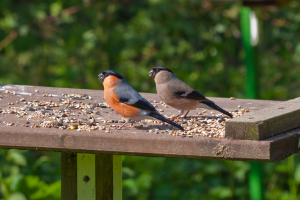 Bullfinch pair