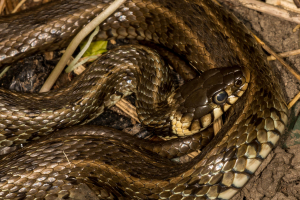 Aire valley grass snake