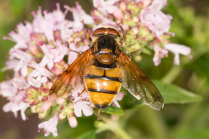 West Yorks Hoverfly