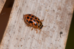 Tiny red spotted beetle on reeds