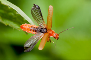 Soldier Beetle (Cantharis)