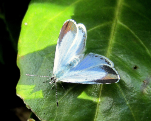 Female Holly Blue at Thetford 2012_05_12