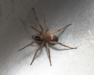 Spider in Essex kitchen sink
