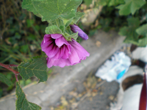 Common Mallow?