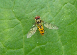 Hover fly - which one?