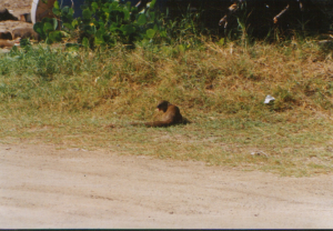 Mongoose sp St. Kitts 1
