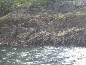 Ui Seal Bass Rock from ui vessel for trip North Berwick - Bass Rock 1