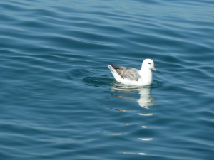 Northern Fulmar from San Gina II off Swanage 1