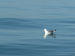Black-legged Kittiwake from San Gina II off Swanage 1