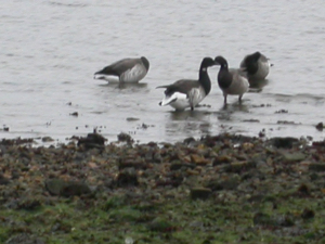 300 420 30 Pale-bellied Brent Geese Baiter shore 3