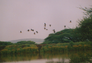 300 40 0 Fulvous Whistling Duck Serengeti