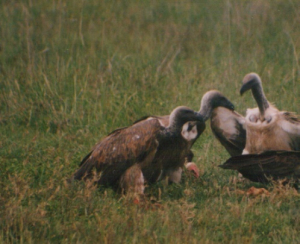 320 480 0 Hooded Vulture at rear Serengeti
