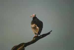 320 580 0 White-headed Vulture Lobo Serengeti