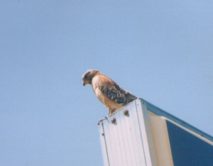 320 z1840 0 Red-shouldered Hawk Texas