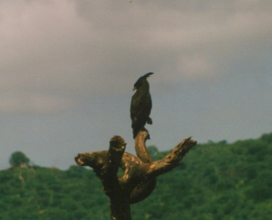 320 z2370 0 Long-crested Eagle Lake Manyara NP