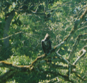 320 z2480 0 African Crowned Eagle Arusha NP