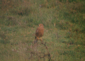 350 340 0 Greater Kestrel Nabi Gate Serengeti NP