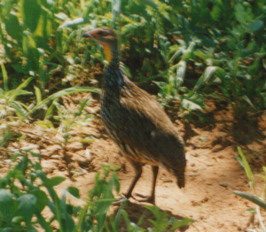 390 560 0 Yellow-necked Spurfowl Tarangire NP