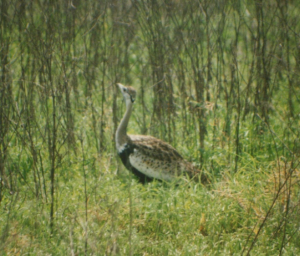 530 230 0 Black-bellied Bustard Ngorongoro Crater