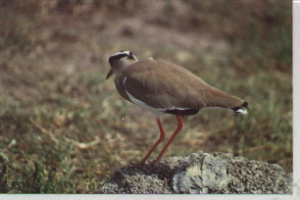 620 600 0 Crowned plover