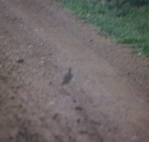 610 20 0 Two-banded Courser Serengeti