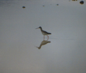650 390 0 Spotted Redshank Ngorongoro Crater