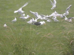 690 140 0 Great Black-backed Gull TW..
