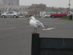 690 340 0 Black-headed Gull Baiter 2
