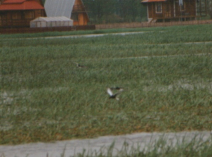 690 850 0 White-winged Black Tern Biebrza Poland