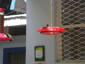940 z1560 0 Copper-rumped Hummingbird birds Hummingbird feeder site Tobago 1