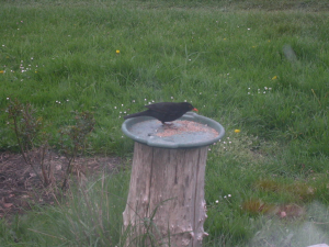 z1580 z2780 0 Eurasian Blackbird male TW..