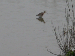 Black-tailed Godwit Brandon Marsh Nature Reserve 2