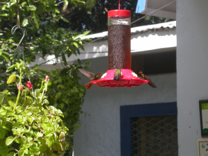 DSCN0265 Ui birds Hummingbird feeder site Tobago 8